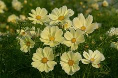 Cosmos Seeds - XANTHOS - Award Winning Annual -  Container Favorite - 25 Seeds | eBay