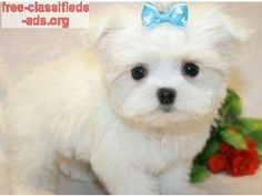 free-classifieds-ads.org - Adorable Tea-cup maltese pupppy Available Now