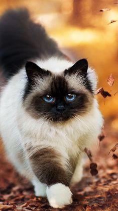 +20 iPhone Siamese Cat Wallpaper - Glamorous Cats