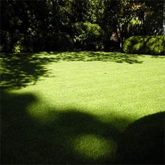 Outsidepride.com calls Supranova Poa Supina grass the most shade tolerant, wear resistant, cool season grass and best primo shade lawn grass on market today and grows where no grass has grown before. It's wear tolerance and aggressive growth make it ideal high maintenance and high wear areas. Specially designed for deep shade and little water it has been used for golf courses, lawns, and athletic field turf for over twenty years. Its performance has been outstanding for me.