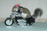 sugar bush squirrel motorcycle biker