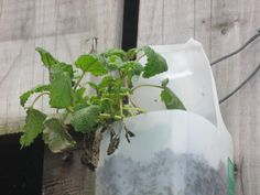 Lemon balm started growing well in my garden in the milk bottle. This has a beautiful smell!
