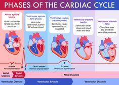 Bernal Studio - The Art of Daniel Bernal - Phases of the Cardiac Cycle Nursing Student Tips, Nursing School Notes, Nursing Students, Nursing Schools, Medical Students, Medical School, Cardiac Nursing, Nursing Mnemonics, Pathophysiology Nursing