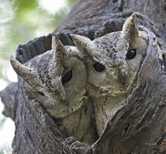 Collared Scops Owls
