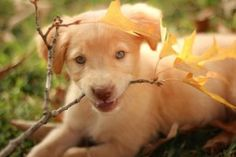 Labrador Golden Retriever Pit Puppy Mix Go Labrador Retrievers, Retriever Puppy, Golden Retrievers, Funny Dog Fails, Funny Dogs, Scooby Dog, Beagle, Pit Puppies, Animales