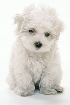 maltese / bichon (a close second favorite to the yorkie poodle) White Puppies, Dogs And Puppies, Doggies, Baby Dogs, I Love Dogs, Cute Dogs, Baby Animals, Cute Animals, Malteser