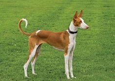 ibizan hound photo | Photograph:Ibizan hound.