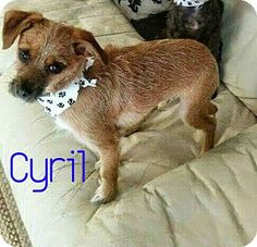 House Springs, MO - Chihuahua/Brussels Griffon Mix. Meet Cyril, a dog for adoption. http://www.adoptapet.com/pet/16391160-house-springs-missouri-chihuahua-mix