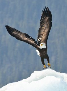 """cachaemic: """" Ice eagle """" Right To Bear Arms"""