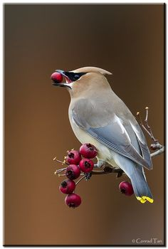 Photograph Cedar Waxwing by Conrad Tan on 500px