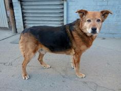 SAFE --- SUPER URGENT 03/25/14  Brooklyn Center   TANK - A0575295  *** RETURNED AS A STRAY ON 3/25/14 *** NEUTERED MALE, TRICOLOR, GERM SHEPHERD, 11 yrs  STRAY - ONHOLDHERE, HOLD FOR ID  Reason STRAY  Intake condition GERIATRIC Intake Date 03/25/2014, From NY 11234, DueOut Date 03/28/2014,  https://www.facebook.com/photo.php?fbid=778155558863992&set=a.777820658897482.1073743072.152876678058553&type=3&theater