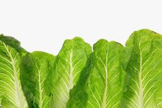 Enjoy Your Romaine Lettuce—While It Lasts