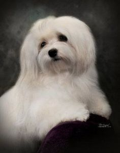Google Image Result for http://www.angelhearthavanese.com/CH%2520photos/CH%2520Carley-small.jpg #maltese