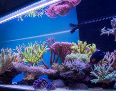 http://reefkeeping.com/joomla/images/stories/totm/Nov2013/gallery2/24.jpg