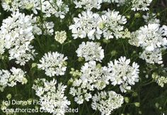 "Orlaya grandiflora. Minoan Lace. White lace flower. blooms 12-14 weeks after sowing. sow in fall for early bloom. sow out spring for late summer bloom. full sun. 24"" tall. 50 seeds."