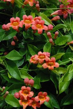 flowering vines like crossvine (Bignonia capreolata) really pull double duty in this capacity. A vigorous and prolific bloomer, crossvine offers gardeners stunning color, year-round interest and an opportunity to use vertical elements, such as trellises and arbors.