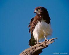 Black-Breasted Snake Eagle, Circaetus pectoralis