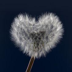Dandelion Heart by Finn Hansen