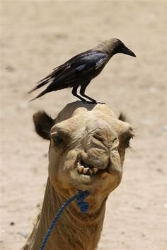 Eritrea Camel in Danakil - I'm gonna smack you if you don't get off my HEAD!