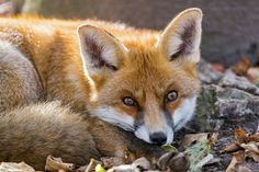 Lying relaxed fox (by Tambako the Jaguar)