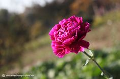 carnations+flowers+pictures   Carnation flower, Resolution: 960 × 640 pixels