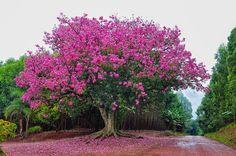 A  paineira é uma árvore de até 30 metros de altura, tronco cinzento  esverdeado com estrias fotossintéticas e fortes acúle...