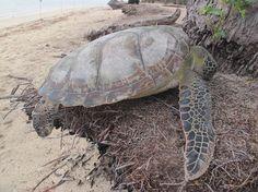 The world of sea turtle  www.batamtour.info