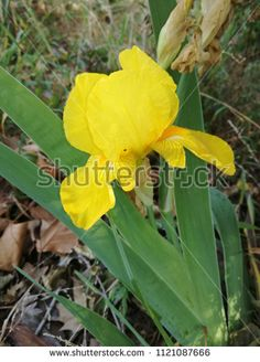 Find Iris Yellow Flower stock images in HD and millions of other royalty-free stock photos, illustrations and vectors in the Shutterstock collection. Thousands of new, high-quality pictures added every day.