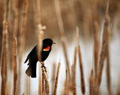 red-winged blackbird back on Rt. 6 A in E. Sandwich today