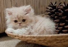 tiny adorable persian kittens - Google Search