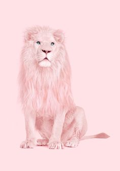 Juniqe Wandbild Albino Lion von Paul Fuentes in , Gerahmtes Papier Pink Wallpaper Iphone, Aesthetic Iphone Wallpaper, Aesthetic Wallpapers, Pink Love, Pretty In Pink, Paul Fuentes, Lion Print, Jolie Photo, Pink Walls