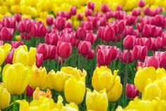 Protecting Tulip Bulbs w/ Cayenne Peppper -SF Gate Home Guides