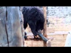 Playtime for the cubs at the Bannerghatta Bear Rescue Centre