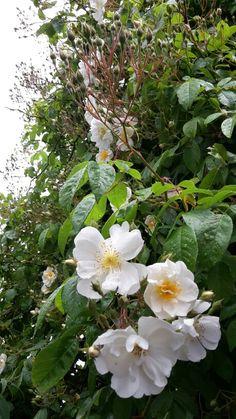 Prachtig, deze klimroos staat in de tuin van mijn tante zegger. (De polder)