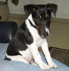 Smooth Coated Fox Terrier