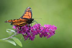 3 Reasons to Never Plant Butterfly Bush Again http://www.rodalenews.com/butterfly-bush-bad?cm_mmc=Facebook-_-Rodale-_-Living-_-QuickGardenTipDNotPlantThisBelovedPlant