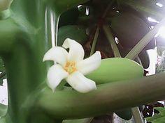 Flor de Mamão