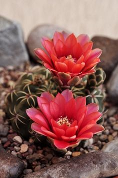 Chin Cactus - Gymnocalycium (Cactaceae) is a genus that naturally occurs in South-Eastern South America in various environs and elevations.