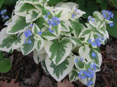 "Variegata Brunnera - Great in the Shade - Blue Flowers - 4"""" Pot"