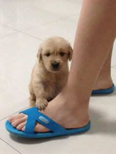 4 week old golden retriever