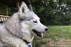 Queen Natasha and her Royal Prerogative. #dog #siberianhusky #husky