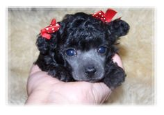 pictures of toy poodles | Dog Breeds → Toy Poodle → Poodle Love Puppies