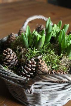 En attendant Noël: paniers de jacinthes automnal - * Idées jardin * Christmas Flowers, Christmas Time, Xmas, Art Floral Noel, Deco Floral, Balcony Garden, Yule, My Flower, Fall Decor