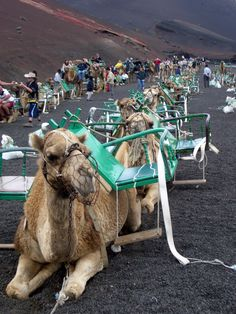 This just might be the very same ill-tempered camel I once rode up a volcano on Lanzarote, my favorite Canary Island Beautiful Places To Travel, Great Places, Places To Go, Lanzarote Costa Teguise, Spain And Portugal, Island Beach, Canary Islands, Adventure Travel, Camels