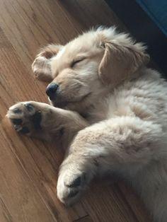 Golden Retriever Puppy. Cappy ❤️ #GoldenRetriever