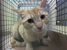 TO BE DESTROYED 6/5/14 ** If you can't foster or adopt, PLEASE repin!!! Neon ONLY has UNTIL NOON (06/05/14) to be rescued!! ** Brooklyn Center  My name is NEON. My Animal ID # is A1001662. I am a male org tabby domestic sh mix. The shelter thinks I am about 4 YEARS old.  I came in the shelter as a STRAY on 05/31/2014 from NY 11220.
