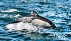 The Transkei section of the Wild Coast is rural South Africa at its best and the roads to the coast lead the visitor through the Xhosa heartland, The Sardine Run, South Africa.
