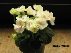 African Violet live plant BABY WHITE by Shantiyarnandknits on Etsy, $2.75