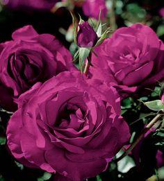 Rose Wild Blue Yonder™ Grandiflora