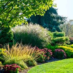 Conifers, ornamental grasses, and sedums form a border around autumn garden.  Splendor in the grasses.